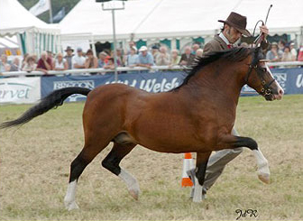 Was three times winner of royal welsh and male champion owned by Clive Johnston in Ireland.