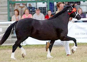 Our section C mare Neuadd Parc Black Lace won the barren mare class and was Reserve Female champion Section C.