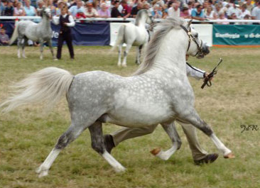 Male Champion Royal Welsh 2002 Owned by the Bryngwenlli Stud