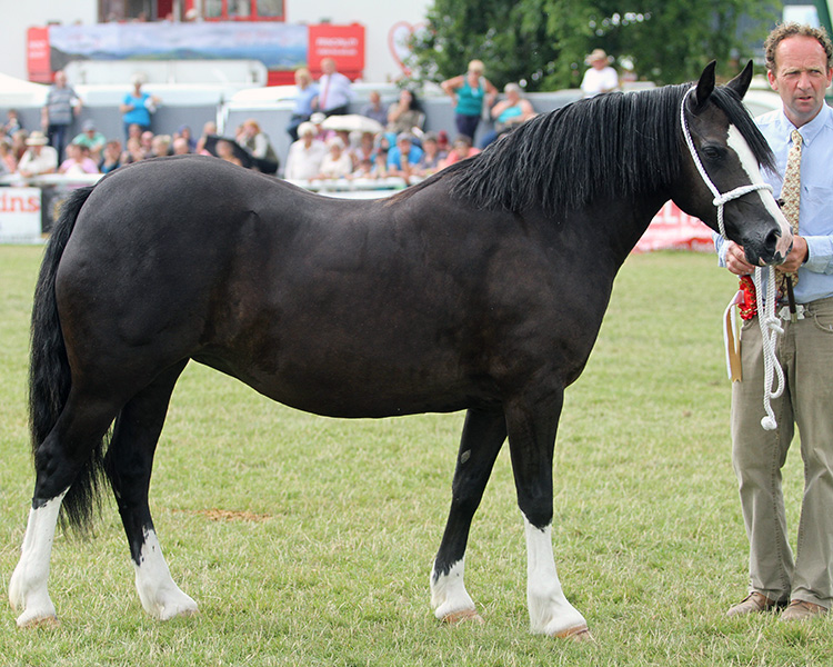 Reserve International Section C champion at the Welsh International Show  at Builth Wells  Neuaddparc Welsh Anthem daughter of the 1988 Royal Welsh champion NeuaddParc Welsh Maid