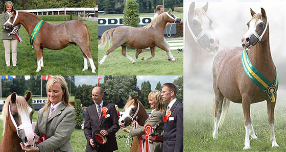 So gratefully awarded the International Supreme Championship at the Internatioanl Show at Belguim 2005. With Judges Henri Leeuwehaag of the Shamrock stud in Holland and Richard Miller of the Heniarth stud in Wales. Photo by Janneke de Rade