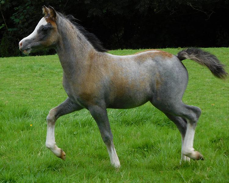 Grey Bride as a foal