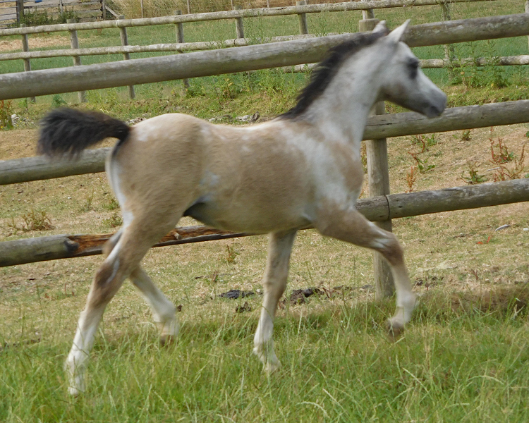 Pearly Queen colt 1